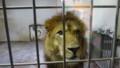 [釧路][動物] ライオン あきら