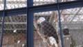 [釧路][動物] ハクトウワシ