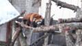 [釧路][動物] レッサーパンダ・4