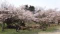 [松前] 冬桜はすでに散り始め