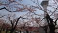 [函館] 路地周辺は5分咲き