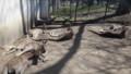 [札幌][円山動物園][動物] オオカンガルー