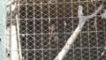 [札幌][円山動物園][動物] ノスリ