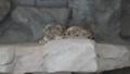 [札幌][円山動物園][動物] ユキヒョウ