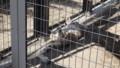 [札幌][円山動物園][動物] 野生はどこに…