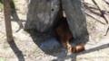 [札幌][円山動物園][動物] レッサーさん日陰に避難