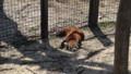 [札幌][円山動物園][動物] たれパンダ