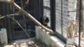 [札幌][円山動物園][動物] シシオザル