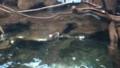 [札幌][円山動物園][動物] 動き回るったらない