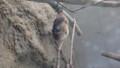 [札幌][円山動物園][動物] オリイオオコウモリ