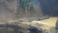 [札幌][円山動物園][動物] ヨウスコウワニ