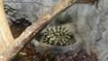 [札幌][円山動物園][動物] ジャングルカーペットパイソン