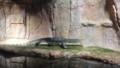 [札幌][円山動物園][動物] ミズオオトカゲ