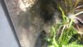[札幌][円山動物園][動物] マダガスカルキンイロガエル