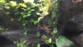 [札幌][円山動物園][動物] キオビヤドクガエル