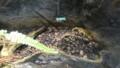[札幌][円山動物園][動物] オビタイガーサラマンダー