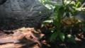 [札幌][円山動物園][動物] コイチョウイボイモリ