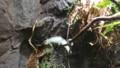 [札幌][円山動物園][動物] パンサーカメレオン