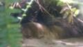 [札幌][円山動物園][動物] ヨウスコウワニ幼体