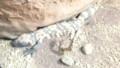 [札幌][円山動物園][動物] アメリカドクトカゲ