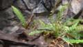 [札幌][円山動物園][動物] コモチカナヘビ