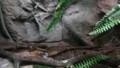 [札幌][円山動物園][動物] エゾアカガエル、ニホンアマガエル