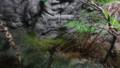 [札幌][円山動物園][動物] エゾサンショウウオ
