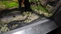 [札幌][円山動物園][動物] 黒化シマヘビ
