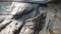 [札幌][円山動物園][動物] ニホンマムシ