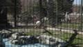 [札幌][円山動物園][動物] タンチョウヅル
