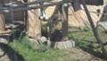 [札幌][円山動物園][動物] 子ランウータン