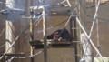 [札幌][円山動物園][動物] オランウータン
