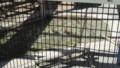 [札幌][円山動物園][動物] オシドリ