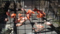 [札幌][円山動物園][動物] ベニイロフラミンゴ、チリーフラミンゴ