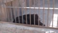 [札幌][円山動物園][動物] アメリカクロクマ