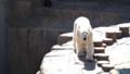 [札幌][円山動物園][動物] ホッキョクグマ キャンディ