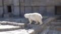 [札幌][円山動物園][動物] ホッキョクグマ ララ