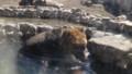 [札幌][円山動物園][動物] エゾヒグマ水浴び中