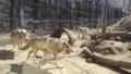 [札幌][円山動物園][動物] オオカミさん