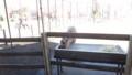 [札幌][円山動物園][動物] ツノ生え替わり中のエゾシカ