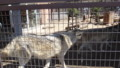 [札幌][円山動物園][動物] 外からも見られるオオカミさん