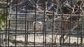[札幌][円山動物園][動物] シマウマ