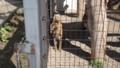 [札幌][円山動物園][動物] サーバルキャット
