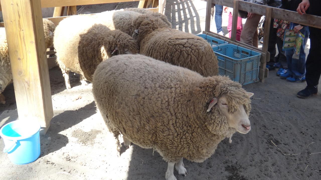 めん羊さん
