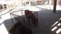 [札幌][円山動物園][動物] シェットランドポニー