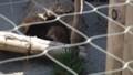 [札幌][円山動物園][動物] エゾタヌキ