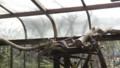 [札幌][円山動物園][動物] アライグマ