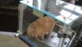 [札幌][円山動物園][動物] プレイリードッグ