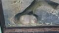 [札幌][円山動物園][動物] 巣穴のようす