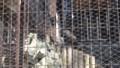 [札幌][円山動物園][動物] ニホンイヌワシ